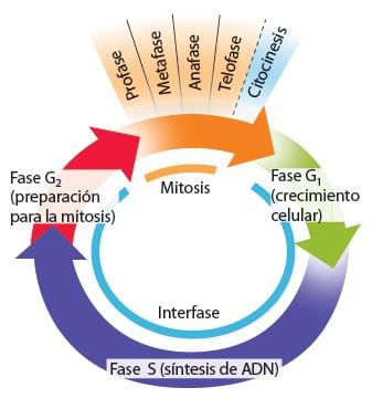 ciclo-celular-1