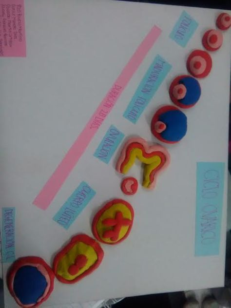 ciclo-ovarico
