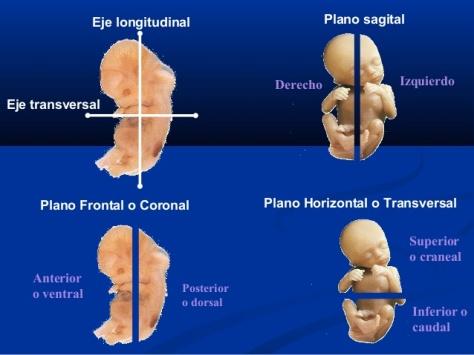 planos embriòn